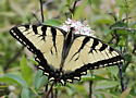Papilio canadensis - male