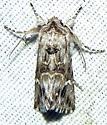 Calophasia lunula  - Calophasia lunula
