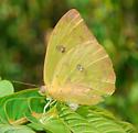 butterfly - Phoebis philea - female