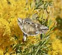 Day-flying moth nectaring on Ericameria nauseosa - Autographa californica