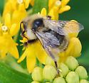 Cuckoo bumble bee? - Bombus fernaldae