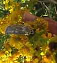 Small moth on seaside goldenrod - Euxoa detersa