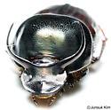 Onthophagus taurus (Schreber, 1759) - male - Onthophagus taurus - male
