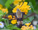 Snowberry Clearwing - Confirm ID - Hemaris diffinis