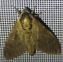 unknown sphinx - Ceratomia catalpae