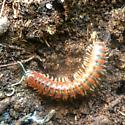 Orange & brown millipede  - Eurymerodesmus
