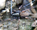 Spider (Allocosa sp?) - Allocosa