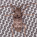 Beetle for ID - Ecyrus dasycerus