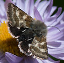 fuzzy headed butterfly or moth on aster - Schinia suetus