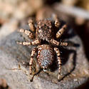 Jumping Spider - Habronattus amicus - male