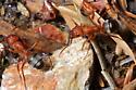 Carpenter Ants - Formica - female