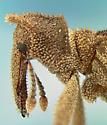 Curculionid - Liometophilus manni