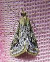 Moth - Pyrausta linealis