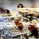 Tiny mites