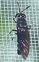 Hermetia illucens - female