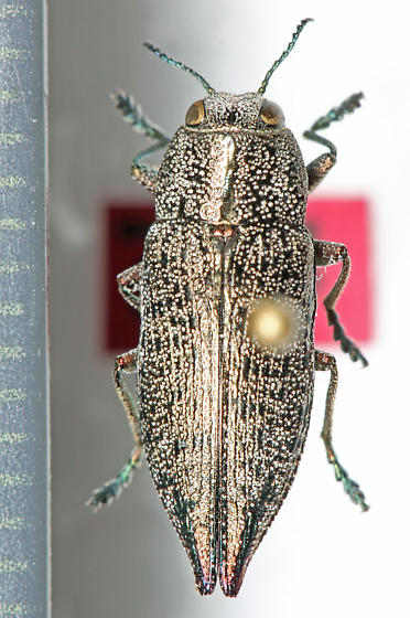 Buprestidae - Poecilonota cyanipes