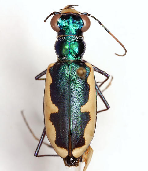 Habroscelimorpha circumpicta johnsoni (Fitch) - Eunota circumpicta