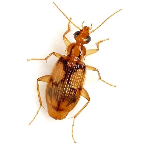 Nemotarsus rhombifer Bates - Nemotarsus rhombifer