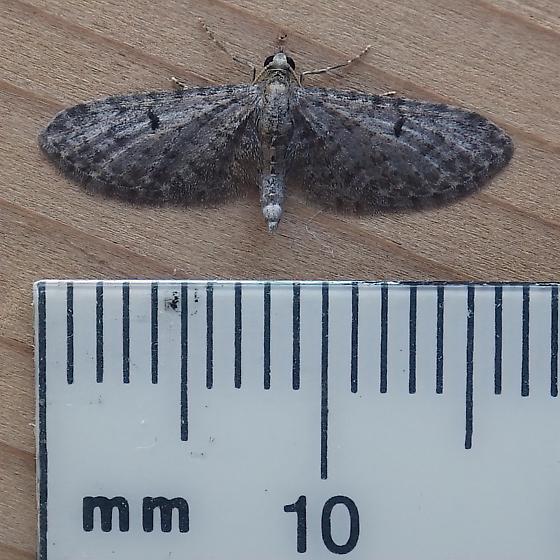 Geometridae: Eupithecia miserulata  - Eupithecia