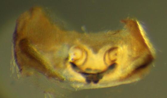 Dictyna volucripes--Voucher image - Dictyna volucripes - female