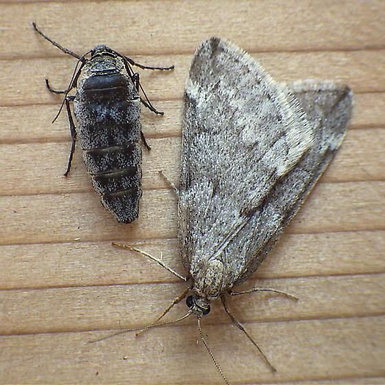 Geometridae: Alsophila pometaria - Alsophila pometaria - male - female