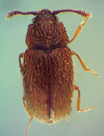 Henoticus sp. - Henoticus californicus - male