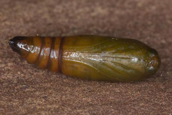 Sciota subfuscella - male