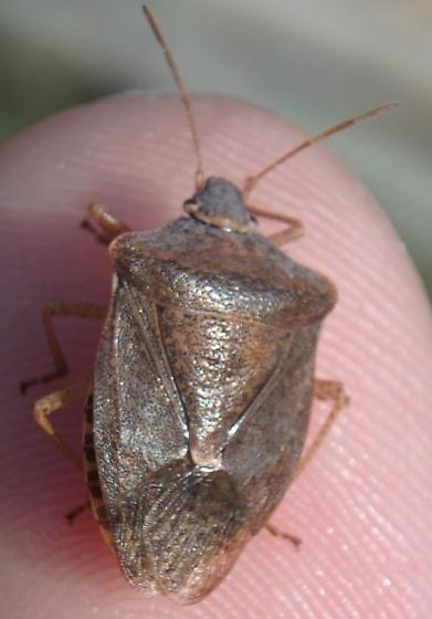 Stinkbug - Euschistus