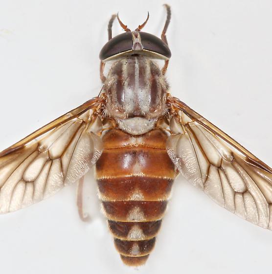 BG1759 E1499 - Tabanus turbidus - female