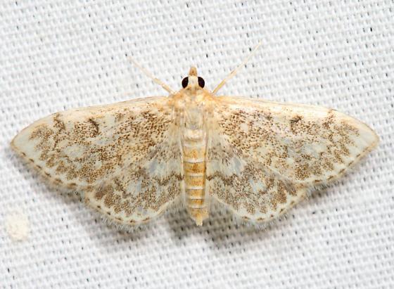 Quebec Phlyctaenia - Anania quebecensis