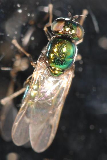 Green fly - Microchrysa polita - female