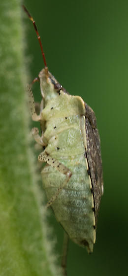 Stink Bug for ID - Euschistus
