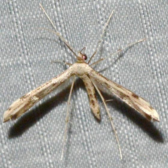 Adaina ambrosiae