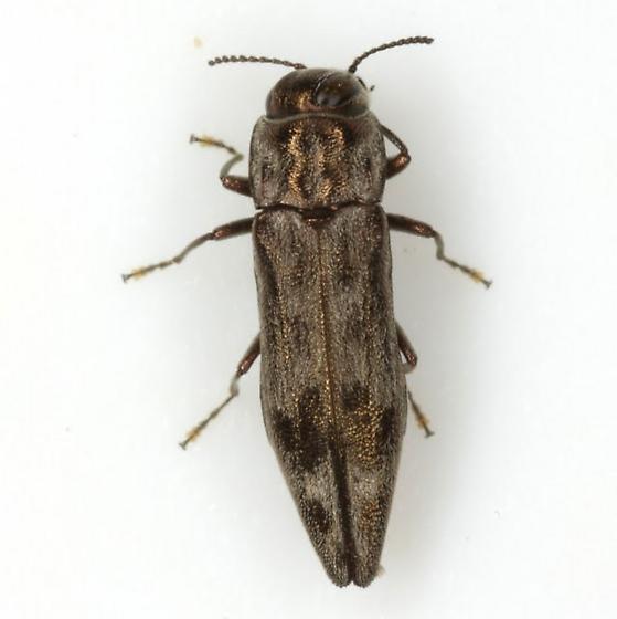 Agrilus lecontei celticola Fisher - Agrilus lecontei