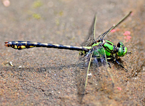 Brook Snaketail in Kent County - Ophiogomphus aspersus - male