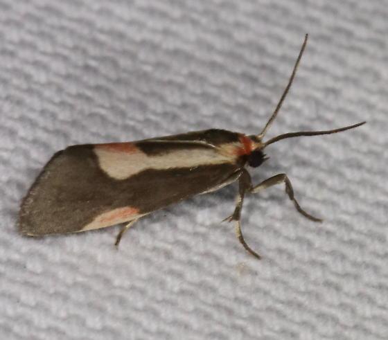 Cisthene packardii - Packard's Lichen Moth - Cisthene packardii