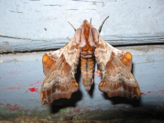Moth Sp??? - Paonias myops