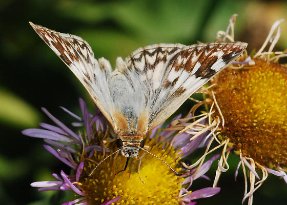 (Not a) Checkered-Skipper from SoCal - Heliopetes ericetorum - female