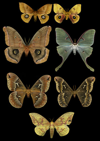 Mixed Saturniidae