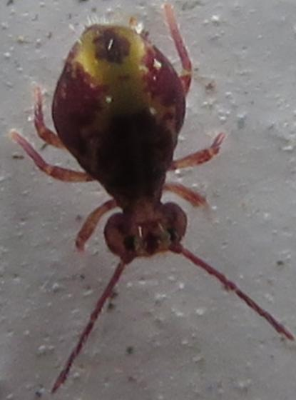 Globular Springtail 3 - Dicyrtomina minuta