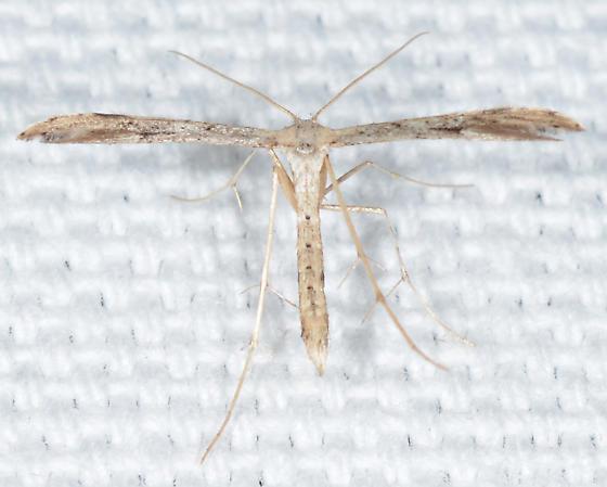 Emmelina monodactyla - Morning-glory Plume Moth - Emmelina monodactyla