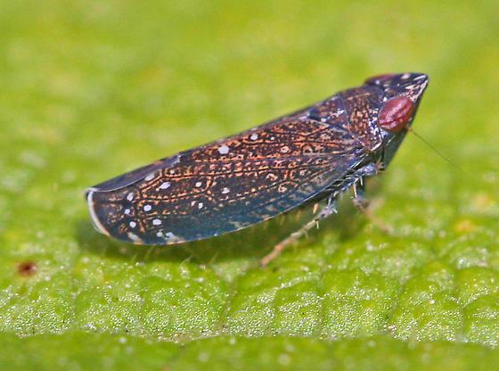 Deltocephalinae subfamily leafhopper? - Scaphytopius nigrifrons