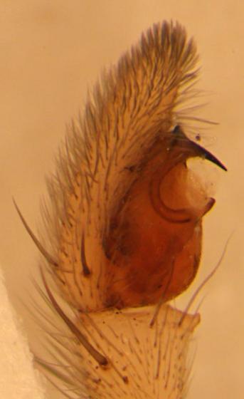 Cricket thief - prolateral palp - Thanatus vulgaris - male
