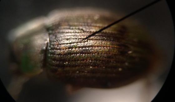 Beetle - Berosus aculeatus