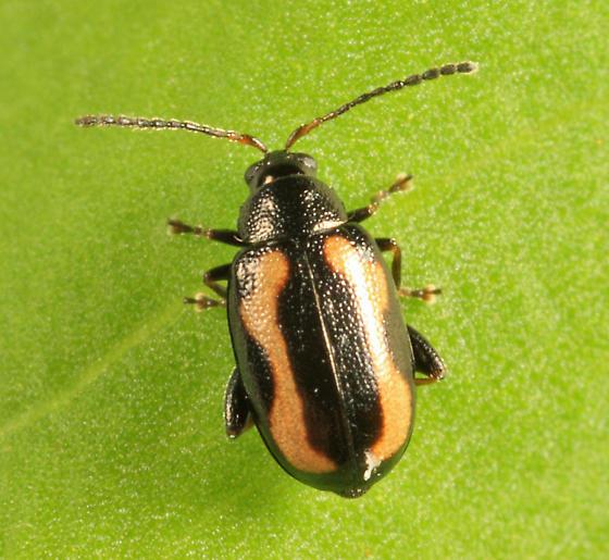 Striped Flea Beetle - Phyllotreta striolata - female