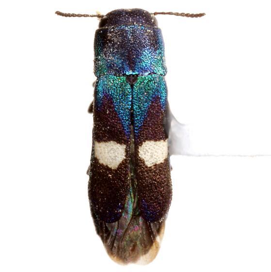 Xenorhipis osborni Knull - Xenorhipis osborni - female