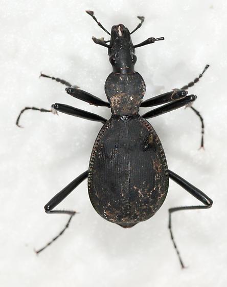 Scaphinotus? - Scaphinotus velutinus