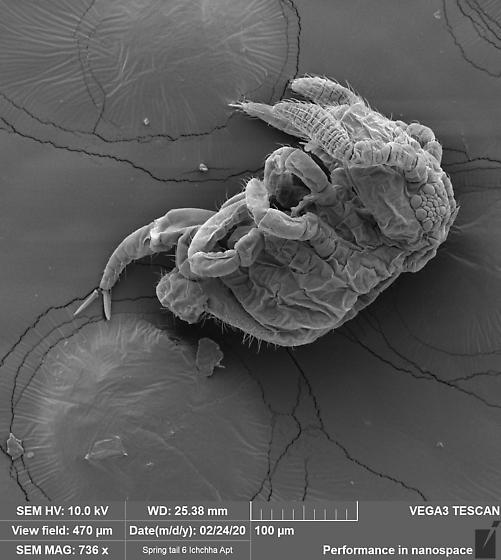 Symphyleona 6 - Bourletiella hortensis
