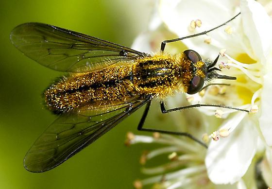 fly with golden hairs on ninebark - Thevenetimyia lotus - female