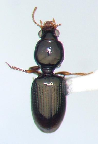 Dyschirius - Dyschirius pumilus